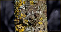 tronc-ours (balese13) Tags: 1855mm aoustrille d5500 indre nikonpassion arbre nikon ourson virusphoto 100nikon balese texture 1000v40f 1500v60f