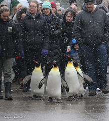 234A4791.jpg (Mark Dumont) Tags: bird penguin teagan zoo dumont king cincinnati