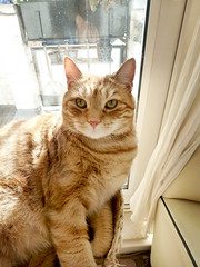 sunny boy (buckaroo kid) Tags: london uk feline cat tabby orange ginger woody woodythecat
