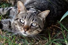 Mirada cristalina!!. (EFD-fotolab) Tags: nikond610 nikkor105mm nikon efdfotolab macro macrofotografia españa invierno gatos cats