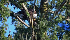 Some Coot for lunch - Bald Eagle (foto tuerco) Tags: coot lunch bald eagle dining tree fir oregon