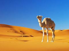 240_F_56024540_u9nJx8NQBClJQQ9gdM6K6tZKZM36zayk (lhoussain) Tags: camel another life sunrise sunset calm relax berber women