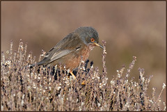Dartford Warbler (image 1 of 3) (Full Moon Images) Tags: dunwich heath nt national trust wildlife nature reserve bird dartford warbler