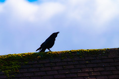 Raven or Crow? (Mikon Walters) Tags: raven crow black united kingdom uk britain england bird feathers flying cooing roof nikon d5600 sigma 150600mm super zoom lens photography contemporary
