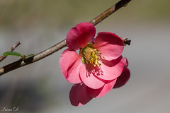 A little flower for a cold day (Irina1010) Tags: flower floweringquince bush bloom pink macro bokeh light shadow beautiful spring nature canon ngc coth5 npc