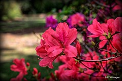 Azaleas in Bloom! (pandt) Tags: boktowergardens lakewales florida azalea azaleas macro closeup flowers pink spring season blooms blossom bloom blooming plants botanical garden outdoor beauty canon eos slr 6d flickr daytime light