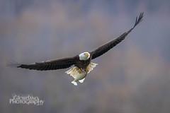 Fresh catch (Vinny Giordano) Tags: fish giordanophotos facebook conowingo eagle giordanophotography