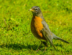 Robin--DSC9704--Port Ortford, OR (Lance & Cromwell back from a Road Trip) Tags: birds tamron150600mmg2 robin lawn wildlife nature thrush sony a57 tamron 150600mm g2