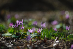 20190321-DS7_0871.jpg (d3_plus) Tags: bokeh aiafzoomnikkor80200mmf28sed d700 thesedays wildflower 日常 walking 城山 ボケ 相模原 望遠 カタクリ 自然 景色 dogtoothviolet sagamihara trekking 神奈川県 sky telephoto 山野草 風景 japan erythroniumjaponicum ニコン トレッキング nature dailyphoto ハイキング nikon nikond700 kanagawa flower nikkor shiroyama 8020028 dogtoothvioletvillage bloom 植物 80200mmf28d 散歩 80200mmf28af plant 花 scenery 80200mmf28 daily 城山かたくりの里 hiking 80200 日本 tele 80200mm かたくりの里 空