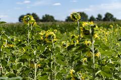 Sonnenblumen   Sunflowers (MLopht   Dortmund) Tags: nrw ruhrgebiet dortmund kamen bönen pflanzen blumen sonnenblumen feld sonnenblumenfeld grün himmel wolken bäume sony alpha 6300 50mm sonyalpha6300 ilce 6300sony