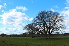 2019 ~ 76/365 (ttelyob) Tags: 365 76365 tree sky clouds picmonkey
