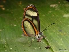 Clearwing butterfly, Oleria sp. (Ecuador Megadiverso) Tags: andreaskay butterfly clearwing ecuador glasswing ithomiini jardinbotanicolasorquideas nymphalidae oleria