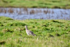 Curlew searches. (pstone646) Tags: curlew nature animal wildlife marshland elmley kent bird grass water fauna wader dof