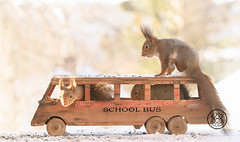 red squirrels sitting in a school bus (Geert Weggen) Tags: redsquirrel car red snow squirrel animal back bright closeup cute food horizontal humor lit logo mammal mirror nature passion photography riding winter vehicle travel bus school teach learn bispgården jämtland sweden
