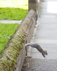 _T6A5545REWS Leap, © Jon Perry, 18-3-19 zbp (Jon Perry - Enlightenshade) Tags: squirrel jump leap bridgemanroad jonperry enlightenshade arranginglightcom 18319 20190318 actongreen w4