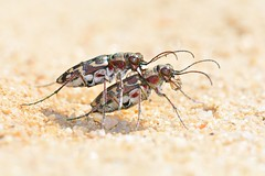 Cicindela hybrida (jotneb) Tags: besourotigre natureza animais insectos vidaselvagem arlivre escaroupim macro cicindelahybrida