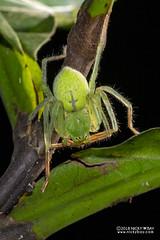 Huntsman spider (Gnathopalystes sp.) - DSC_1384 (nickybay) Tags: singapore macro zhenghuapark sparassidae gnathopalystes huntsman spider