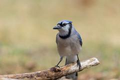 Blue Jay-49899.jpg (Mully410 * Images) Tags: jay birdwatching birding backyard bluejay birds birder bird