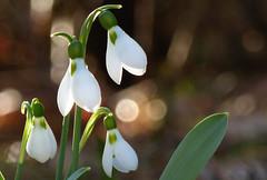 Snowdrops (evisdotter) Tags: snowdrops snödroppar flowers blommor evening light macro bokeh