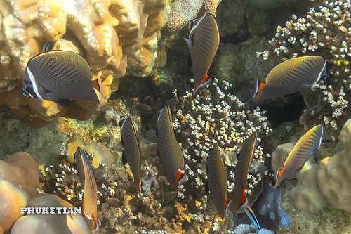 Coral fishes of Surin islands, Andaman sea, Thailand