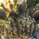 Coral fishes of Surin islands, Andaman sea, Thailand thumbnail