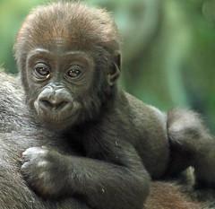 western lowlandgorilla Damsi artis 094A0060 (j.a.kok) Tags: animal artis africa afrika aap ape mammal monkey mensaap zoogdier dier primate primaat gorilla westelijkelaaglandgorilla westernlowlandgorilla lowlandgorilla laaglandgorilla damsi