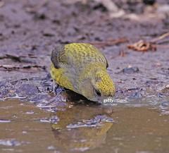 Crossbill female (Gary Chalker, Thanks for over 4,000,000. views) Tags: finch crossbill bird pentax pentaxk3ii k3ii pentaxfa600mmf4edif fa600mmf4edif fa600mm 600mm female