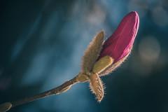 2019-04-03_udvar_01 (vond.one) Tags: vond g80 g85 panasonic lumix természet nature virág flower szín színek színes color colour colours colors