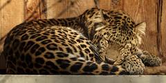 Müder Leopard (KaAuenwasser) Tags: müde leopard raubtier tier katze gehege schlafen