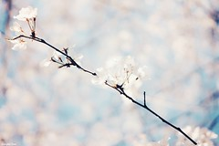 Happines radiates (gusdiaz) Tags: blossoms spring flowers nature naturephotography fuji fujifilm fujiphotography beautiful pastels colors colores pasteles retoños hermoso branch ramas naturaleza bokeh bokehlicious dof vsco vscocam
