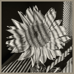 Sunflowers #16 2019; Sunflower Noir #2 (hamsiksa) Tags: lighting styles filmnoir highcontrast stilllife stilllifes plants flora flowers blooms blossoms sunflowers helianthus blinds availablelight ambientlight blackwhite