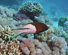 Bodianus anthioides (kmlk2000) Tags: redsea merrouge hurghada safaga egypt egypte vacation underwater uwpics sealife underwaterworld ocean sea colorfull fish poisson dc2000