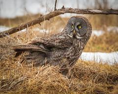 Great grey owl on ground (dwb838) Tags: grass ground greatgreyowl