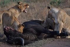 Lion Pride Sharing a Buffalo (Everyday Glory!!!) Tags: masaimara africa kenya safari gamedrive mara wildlife wild maasaimara maasai africanbuffalo buffalo capebuffalo