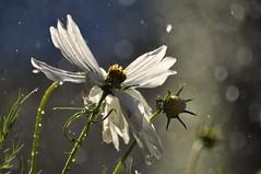 Take This Waltz (FlorDeOro) Tags: nikond90 photography nature flower bokeh light glow droplets dof detail closeup colorful gotland sweden summer mijarajc