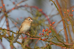 Field Sparrow (jonathanirons28) Tags: fieldsparrow bigwaterfarm yardbirding mdbirding queenannesmd mbpqueenstownquad maryland november sparrows fallmigration fall2018 2018 nikon yearofthebird fisp d500