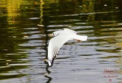 Seagull in flight (Jurek.P2 - new account) Tags: birds bird birdsinflight ptaki ptak seagull mewa citypark kępapotocka warsaw warszawa poland polska water jurekp2 sonya77