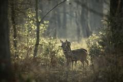 Filtered Light (Rob Blight) Tags: deer roe roedeer roebuck roedoe roestag wild wildlife nature outdoors morning light britain britishwildlife morninglight winter wintermorning nikond850 d850 nikon 500mm 500pf nikon500mm hook hampshire robblight forest fauna woods woodland
