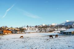 Aeschi (Bephep2010) Tags: 2018 7markiii aeschi aeschibeispiez alpen alpha bergkette bern bäume herbst ilce7m3 pferd sel1635z schnee sony alps autumn fall horse mountainrange snow trees ⍺7iii cantonofbern switzerland ch