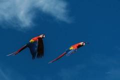 Flugshow (THW-Berlin) Tags: ara papagei sony alpha6500 birds vögel bunt blau sommer 70300mm animals walsrode