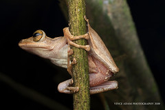 IMG_4855-0(W) Four-Lined Tree Frog (Polypedates leucomystax) (Vince_Adam Photography) Tags: fourlinedtreefrog polypedatesleucomystax