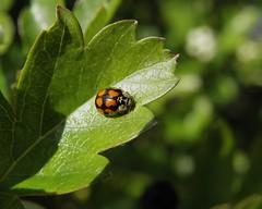 Adalia decempunctata (rockwolf) Tags: adaliadecempunctata 10spot ladybird coccinelle coccinellidae coccinelleà10points coleoptera beetle insect venuspool shropshire rockwolf