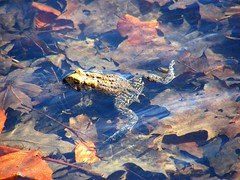 Fog on Autumn Leaves (Stanley Zimny (Thank You for 37 Million views)) Tags: leaves seasons fall autumn frog amphibian water animal