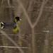 American Coot - Life Bird