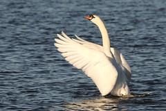 IMG_2460 (LezFoto) Tags: swan mute cygnusolor loirstonloch aberdeen scotland unitedkingdom canoneos700d sigma 700d canon 120400mmf4556dgapooshsm digitalslr dslr canonphotography sigmalens wings