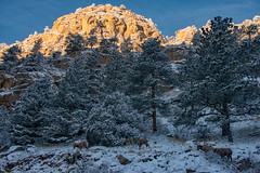 Can You See Them? (RkyMtnGrl) Tags: landscape nature scenery wildlife butte canyon rocks bighorn sheep snow morning dusting pines colorado 2019 southstvraincanyon