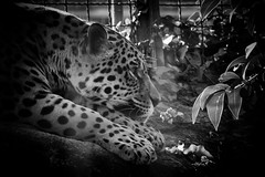 Diego (TheLionPo) Tags: bigcat bigcats jaguar felino feline felinos cat blackwhite bw blackandwhite byn blancoynegro spots zoo zooanimals relax