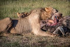The Lion's Share (helenehoffman) Tags: africa pantera kenya felidae mammal amboselinationalpark synceruscaffer animal pantheraleo capebuffalo carnivore lion