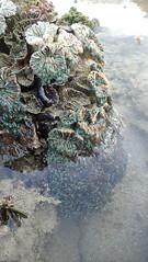 Frog spawn coral (Euphyllia paradivisa?) (wildsingapore) Tags: pulau semakau euphyllia euphylliidae paradivisa cnidaria scleractinia island singapore marine coastal intertidal shore seashore marinelife nature wildlife underwater wildsingapore