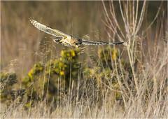 Short-eared Owl (Asio flammeus) (Jud's Photography) Tags: shortearedowl asioflammeus seo owl bird uk westmidlands